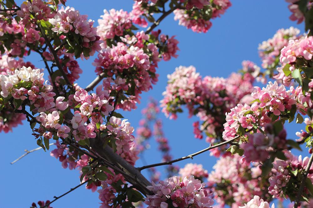 cherry apple blossoms toronto