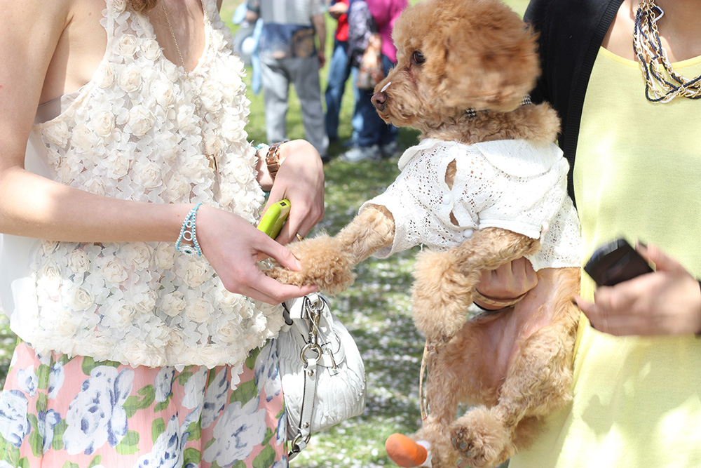 lace and apricot toy poodle in shirt