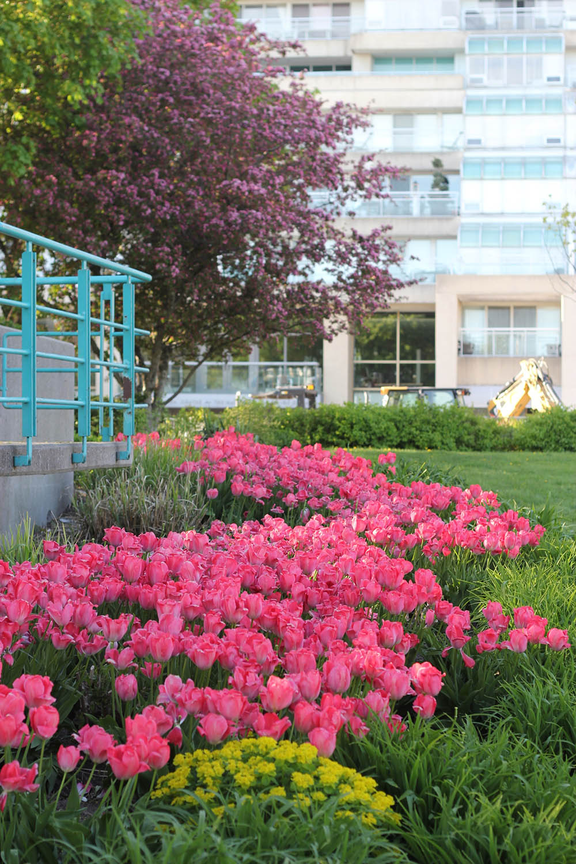 pink tulips toronto
