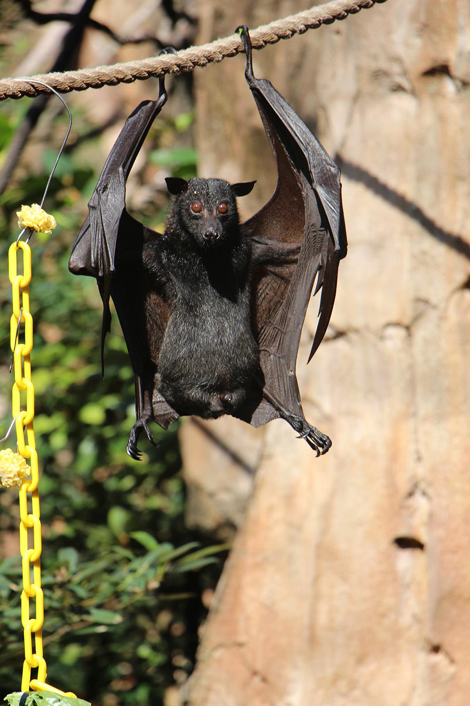 asian fruit bat