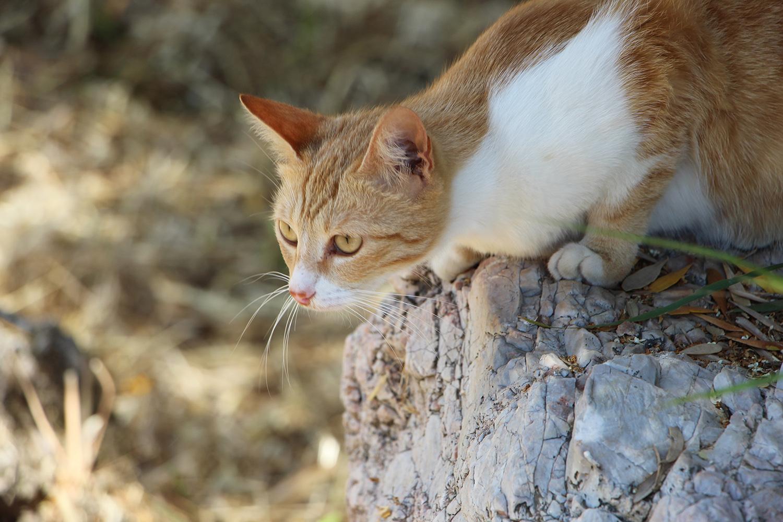 greek cat in ruins