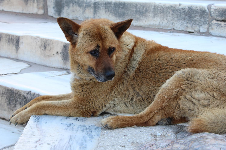 stray dog in athens acropolis
