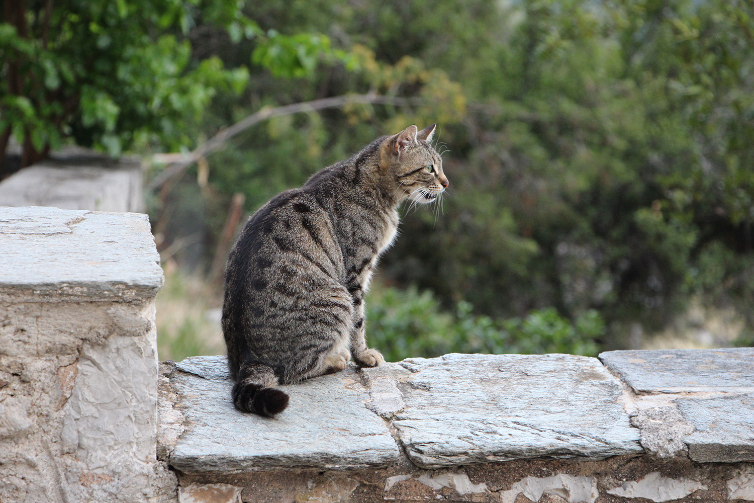 cute greek brown tabby stray cat