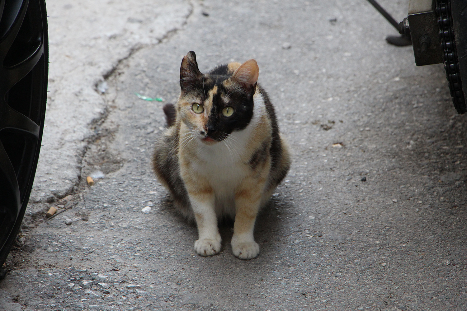 greek calico cat