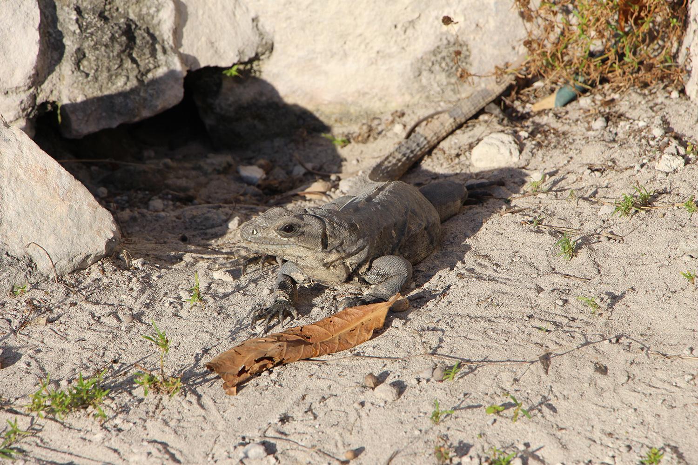 iguana and mexico