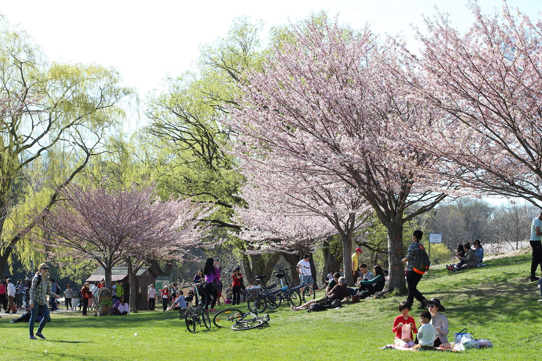 high park sakura blossoms