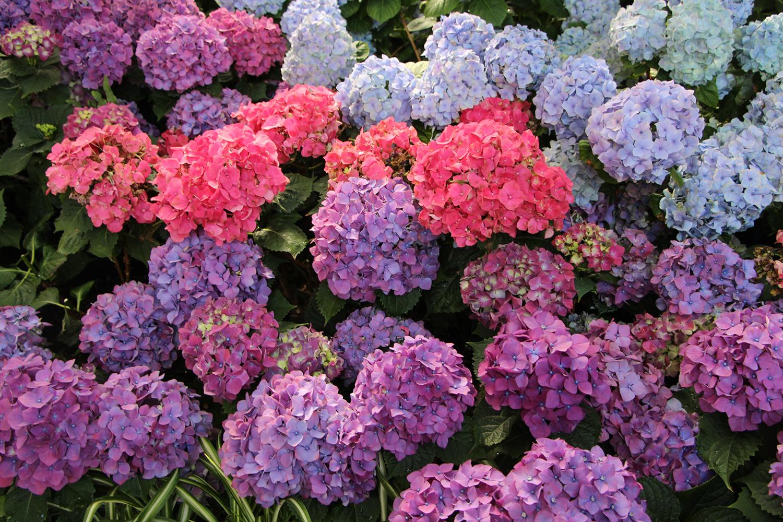 hydrangeas allan gardens