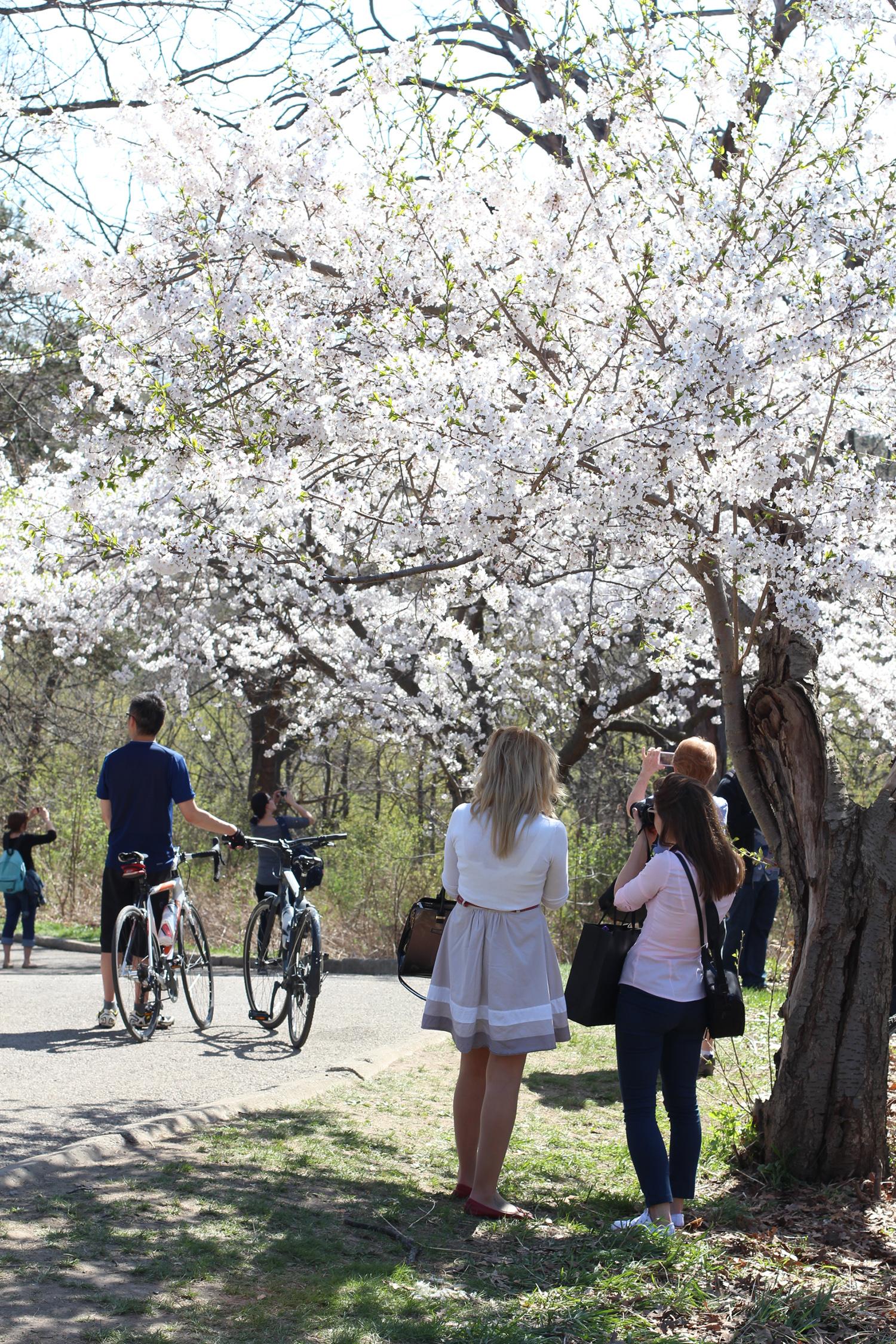 white sakura blossoms high park
