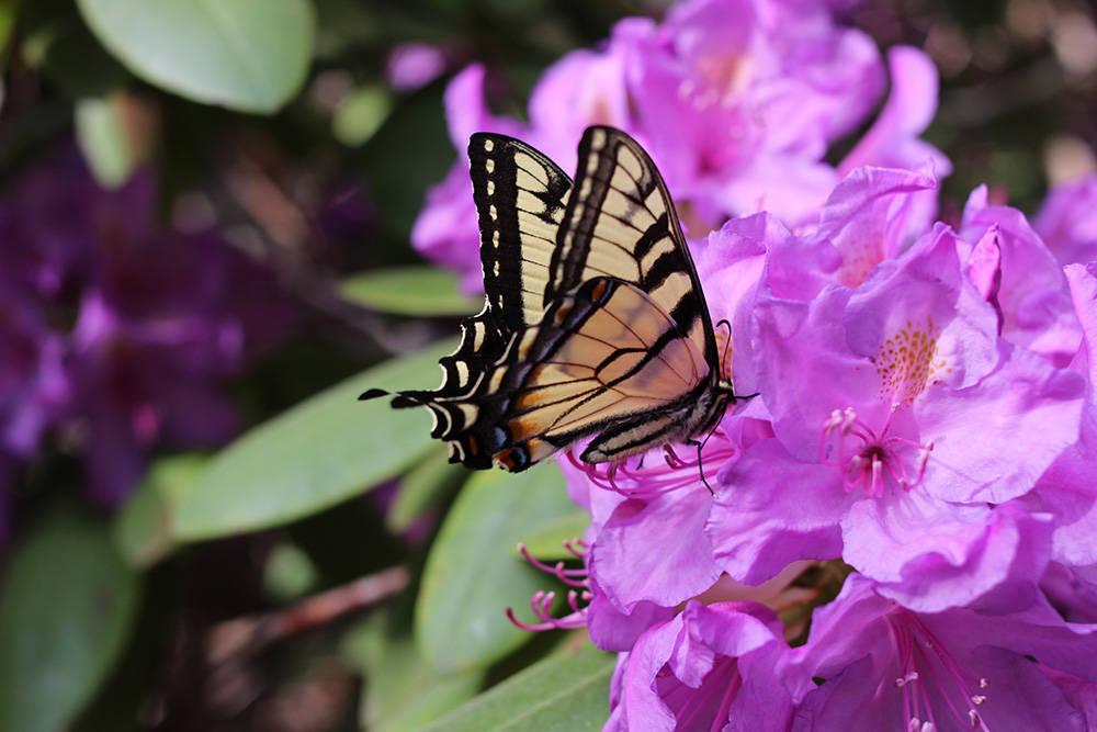 yellow butterfly on azaleas