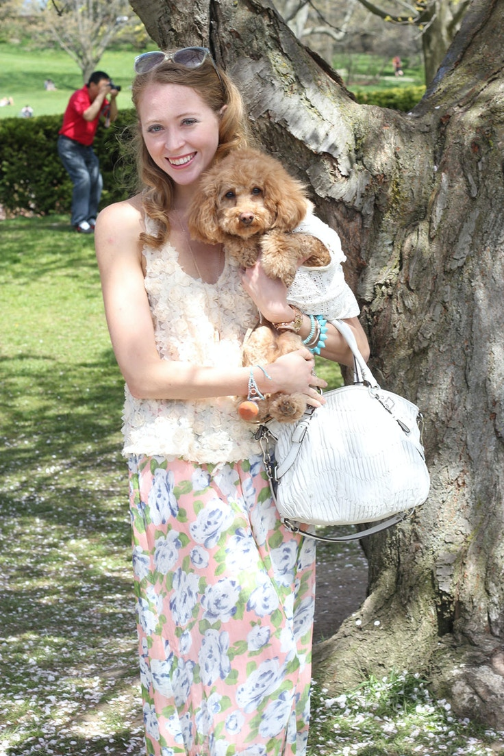 apricot toy poodle in dog shirt