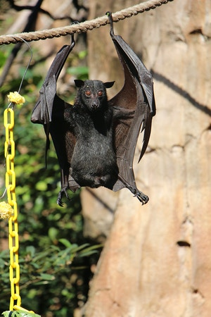 asian fruit bat