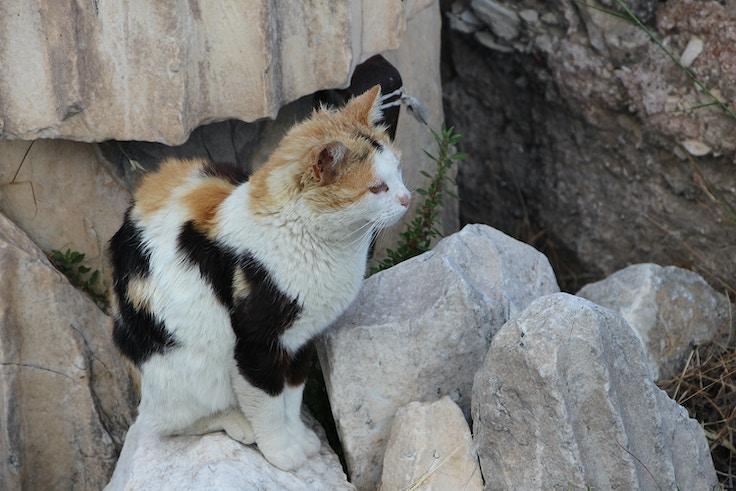 calico cat in athens acropolis