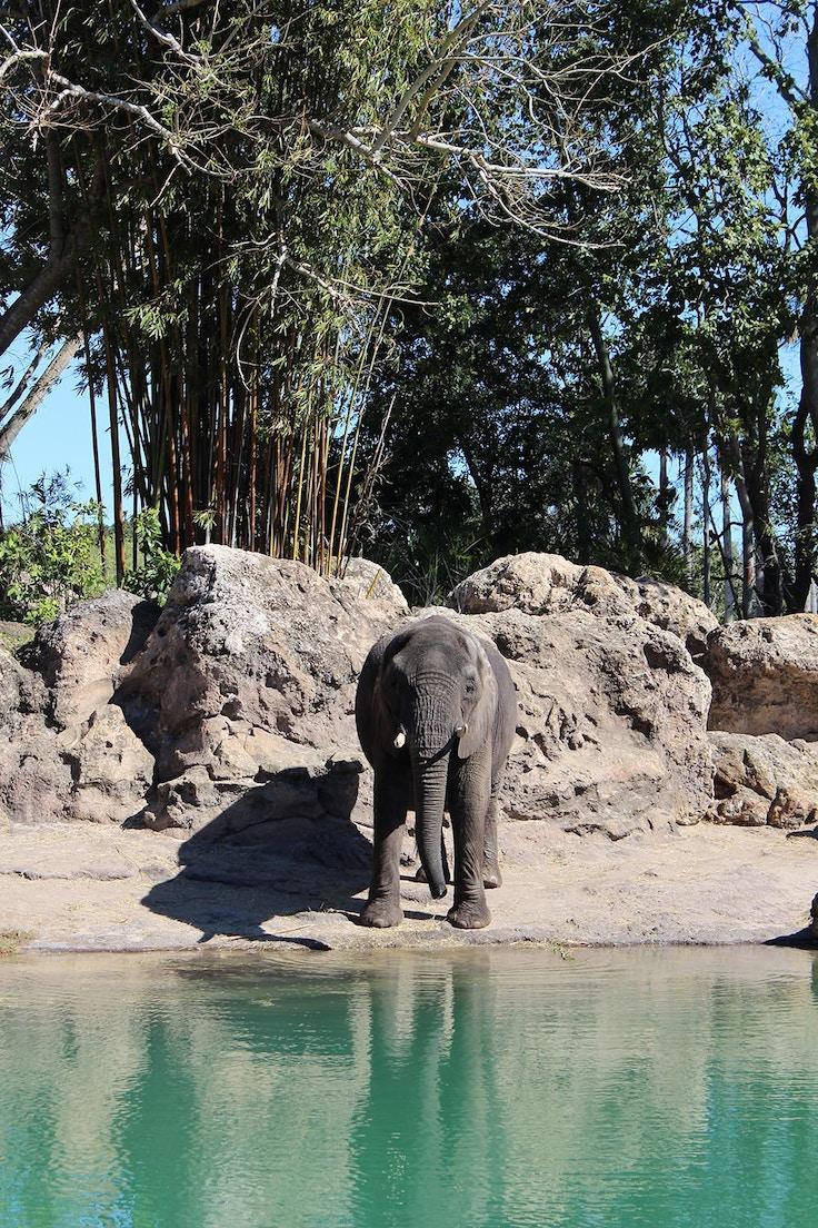 disneyworld animal kingdom elephant safari