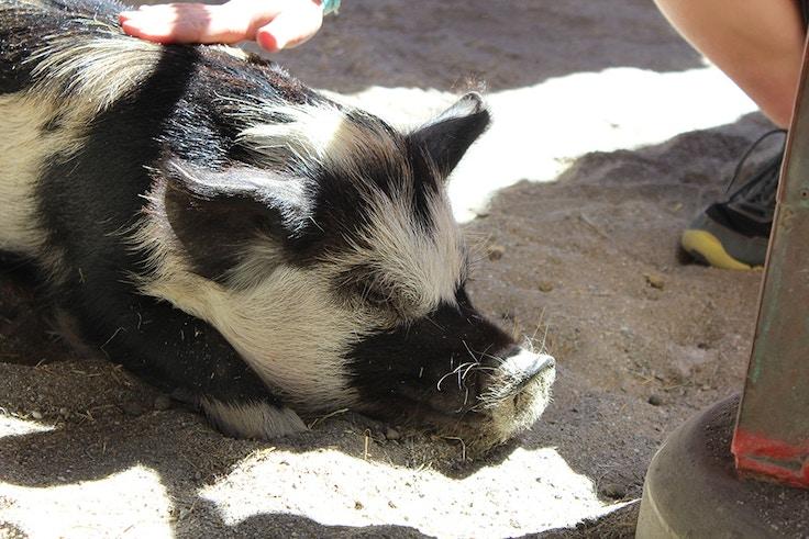 disneyworld animal kingdom petting zoo pig