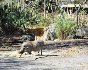 disneyworld animal kingdom pumba safari