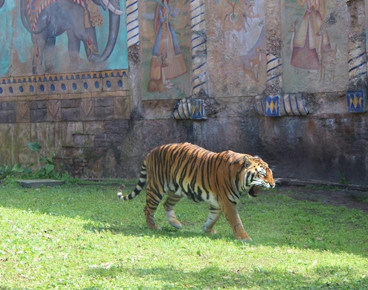 disneyworld animal kingdom tigers