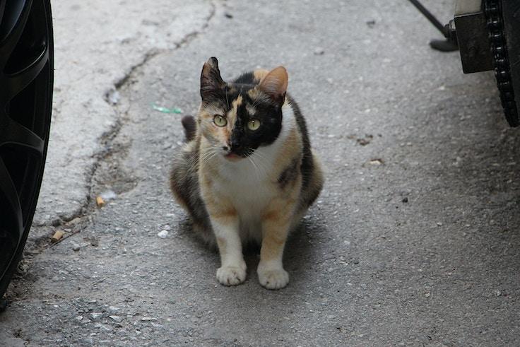 greek calico cat