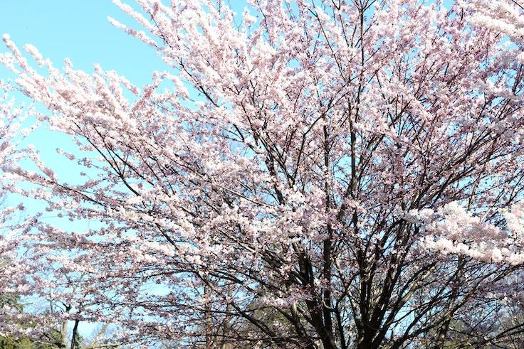 high park sakura cherry blossoms
