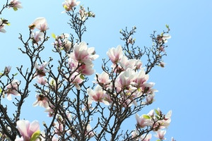 magnolia tree flowers