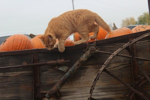 orange cat in pumpkin
