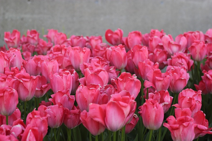 pink tulips in toronto