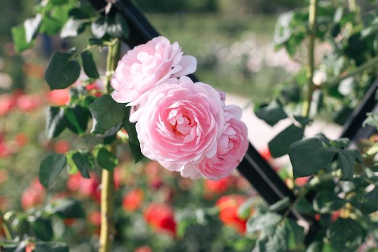 roselada madrid retiro park (5 of 5)