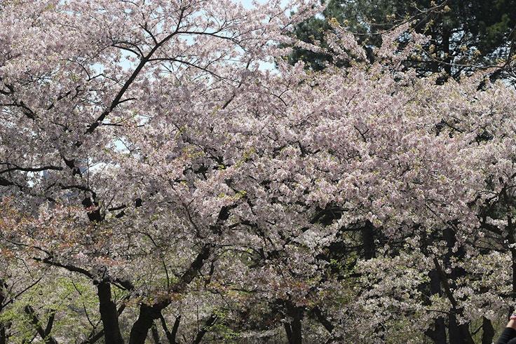sakura high park