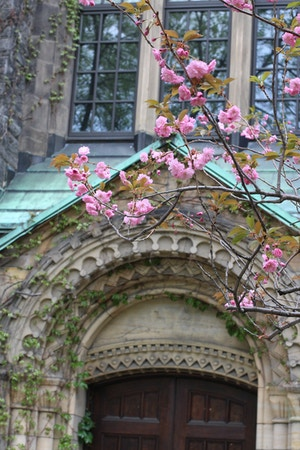 u of t cherry blossoms and ivy