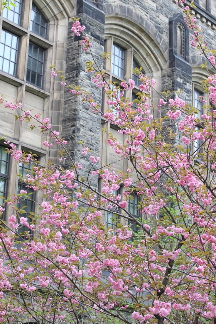 u of t cherry blossoms