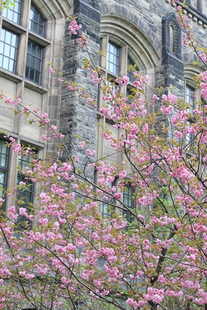 u of t cherry blossoms