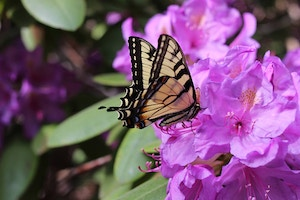 yellow butterfly on azaleas