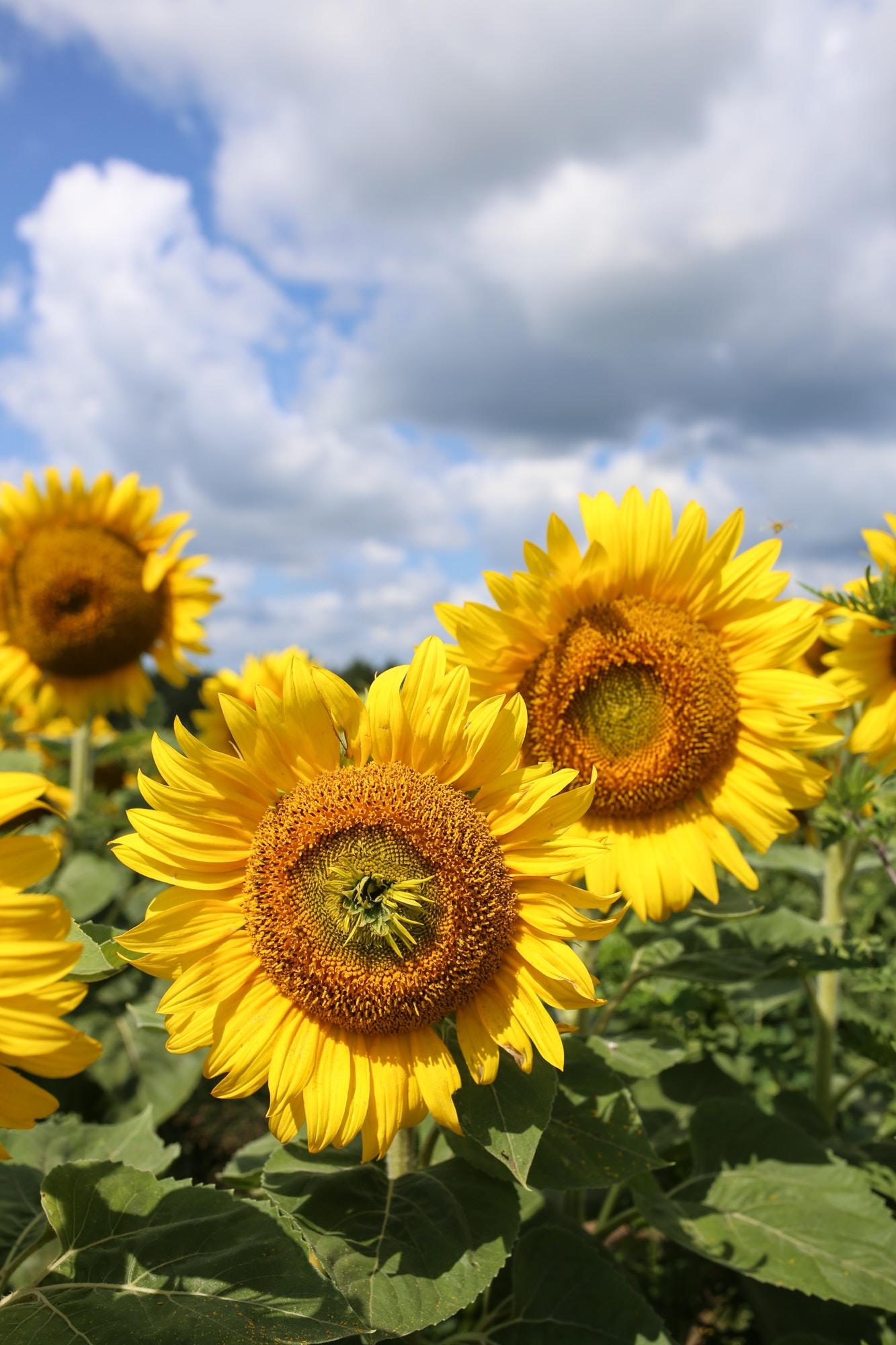 davis feed sunflower field