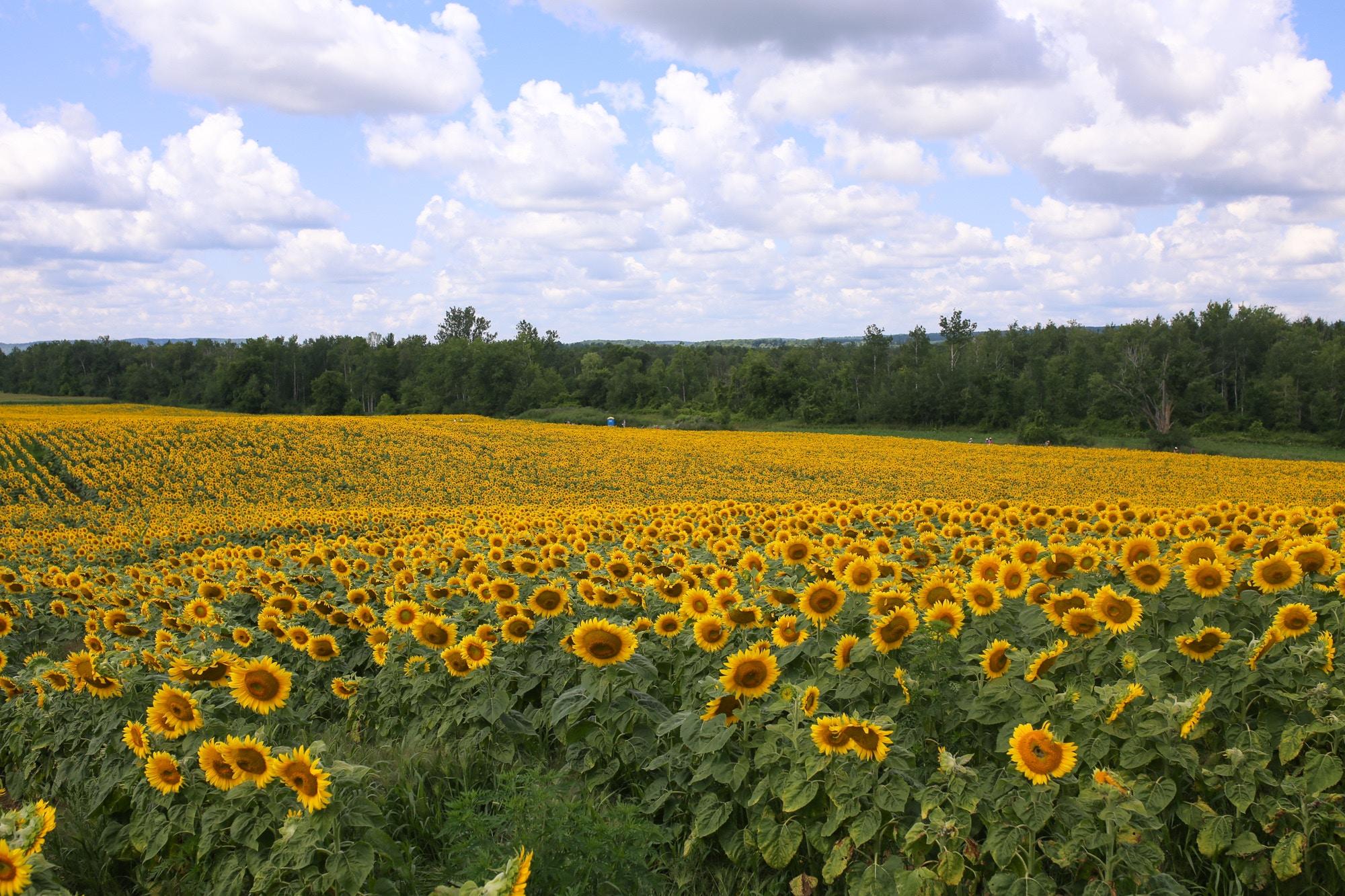 davis feed sunflower field caledon ontario