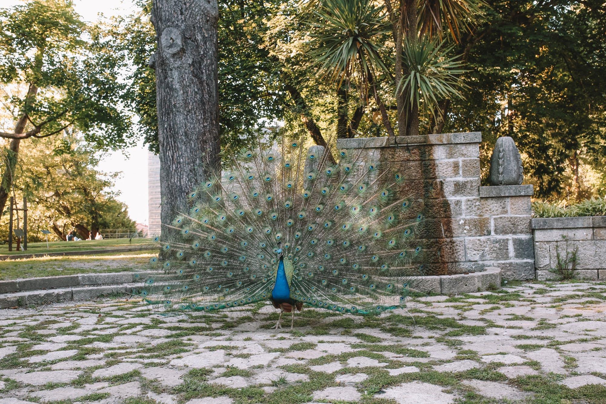 peacocks in porto gardens