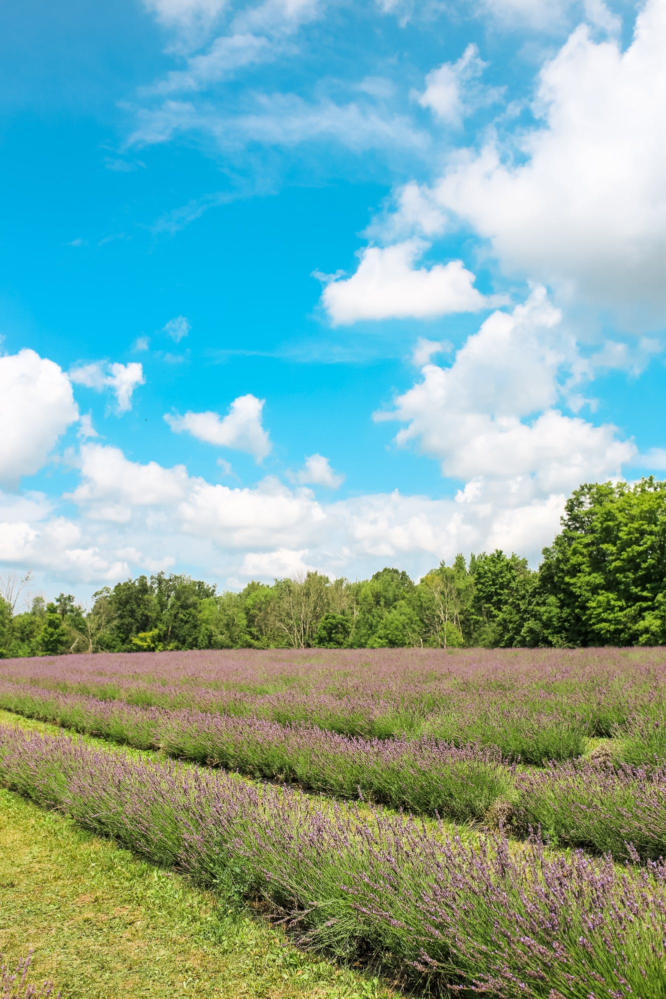 Terre Bleu lavender farm is a gorgeous lavender field located in Guelph, Ontario, a mere 1 hour drive from Toronto.