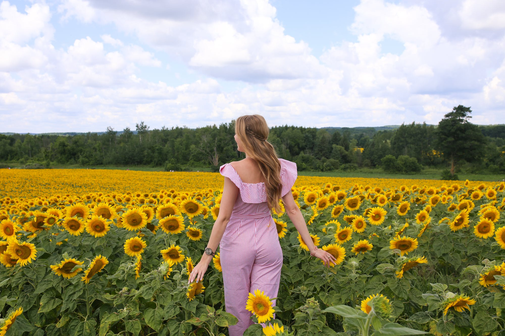 large sunflower fields in caledon ontario