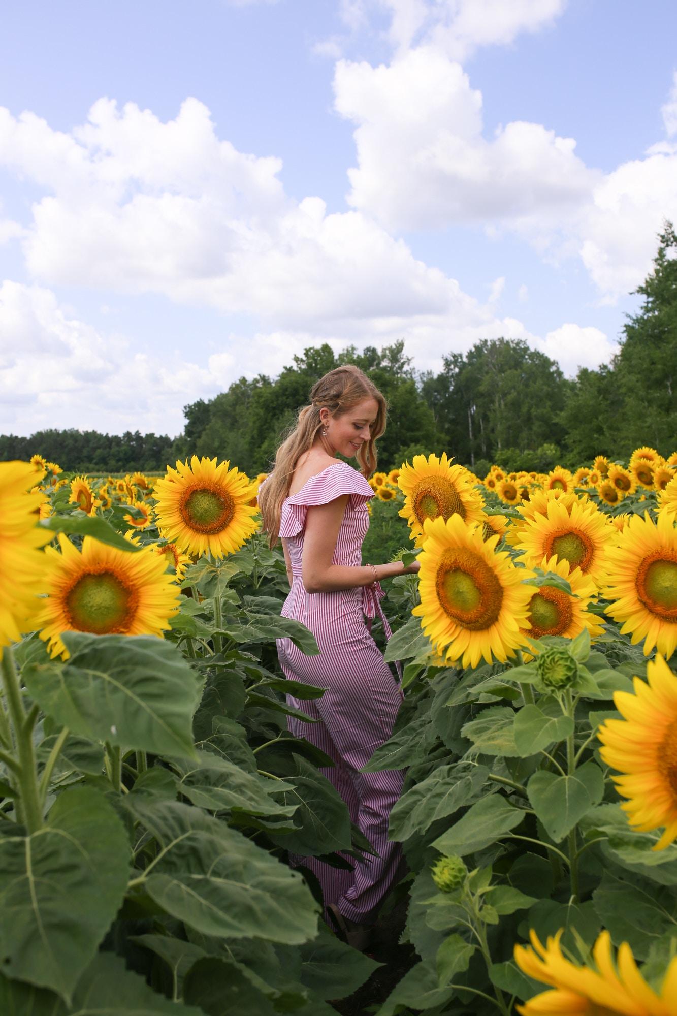 sunflower fields near toronto still open