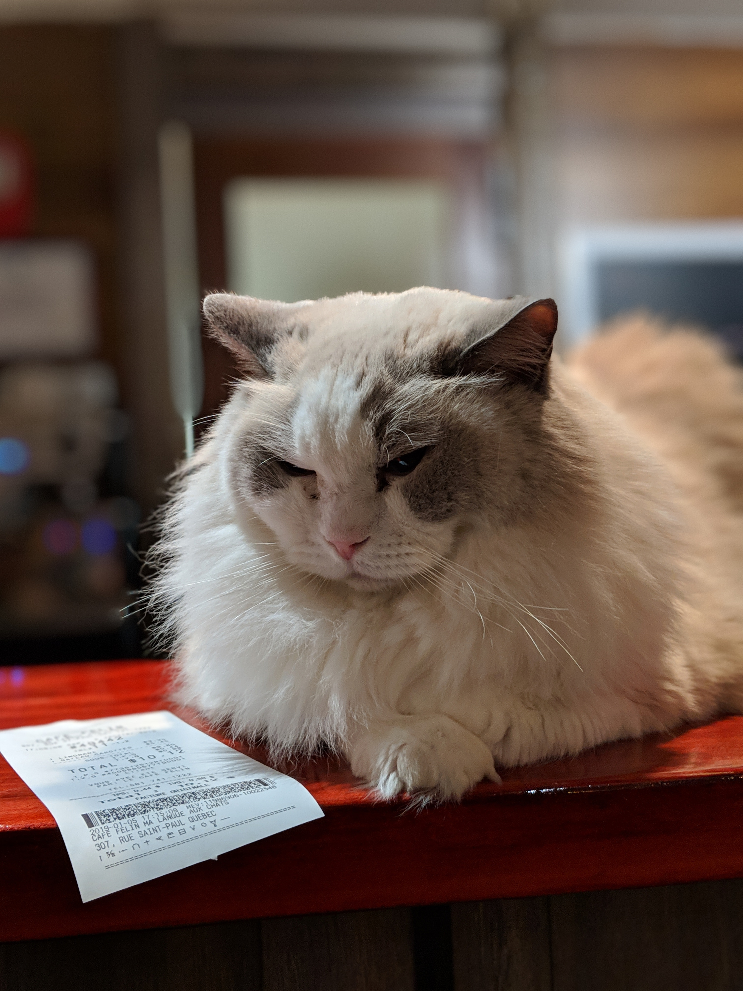 Cafe Felin in Quebec City - a quaint cat cafe with plenty of friendly exotic cat breeds.