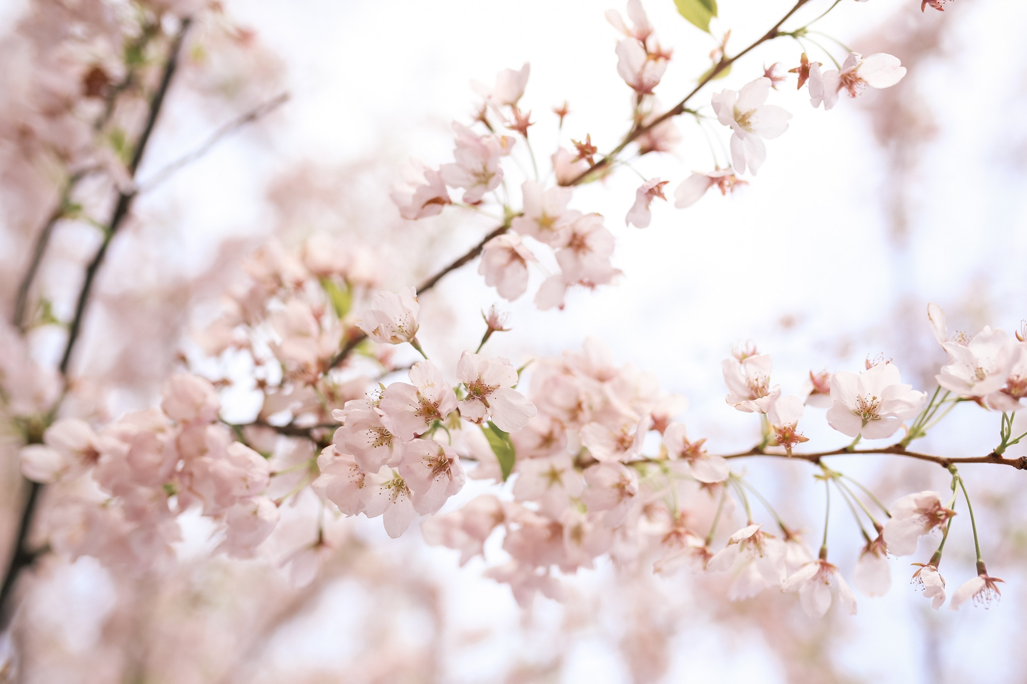 Close-up of sakura, aka Cherry Blossoms in Trinity Bellwoods Park Toronto