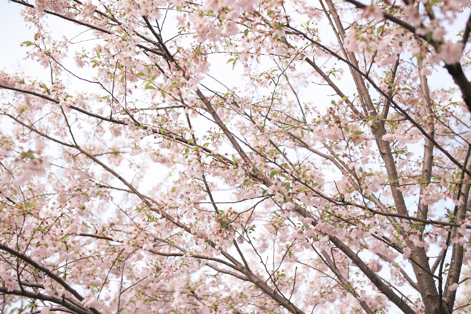 Cherry Blossoms in Trinity Bellwoods Park Toronto